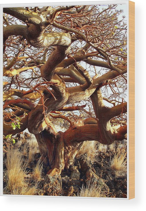 Wiliwili Wood Print featuring the photograph Ancient Wiliwili Tree by Stephen Green
