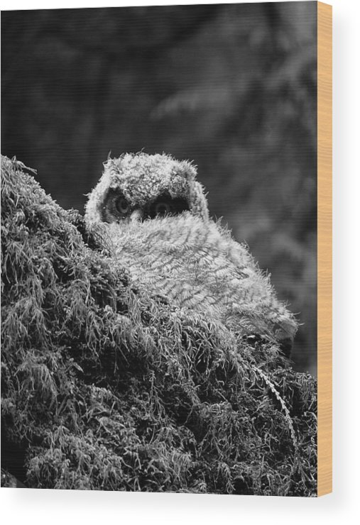 Owl Wood Print featuring the photograph Baby Owl 3 by Bec Thomas