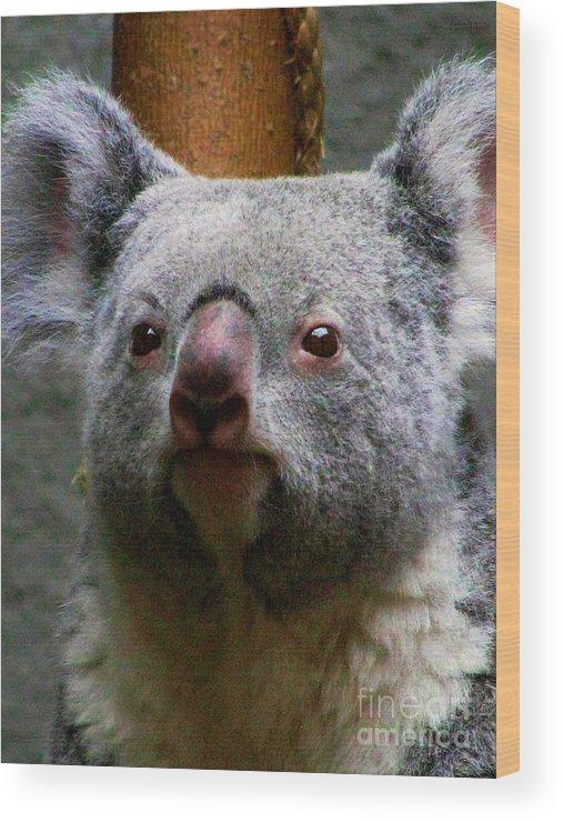 Koala Bear Bears Ohio Rlclough Zoo Zoos Wood Print featuring the photograph Bears In Ohio. No.19 by RL Clough
