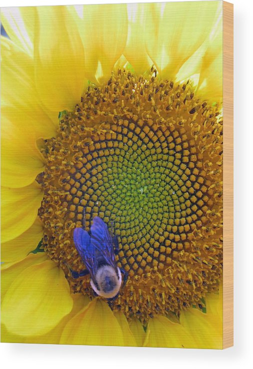 Sunflower Wood Print featuring the photograph Beauty And The Bee by Laura Corebello