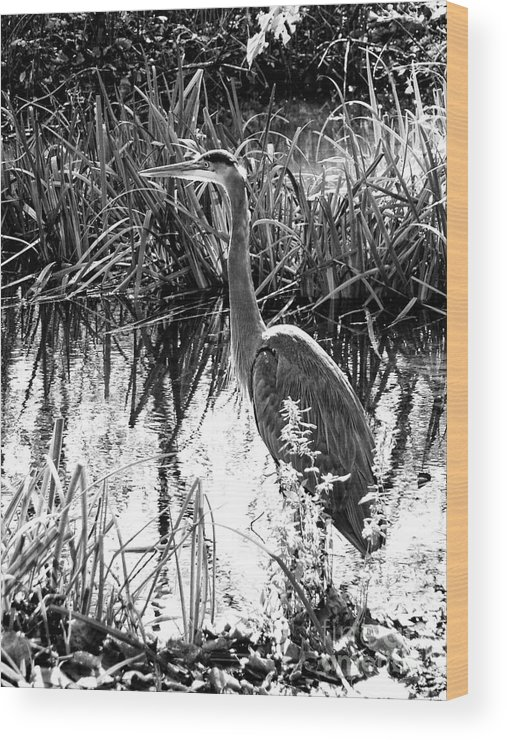 Landscape Wood Print featuring the photograph Blue Heron 4bw by Earl Johnson