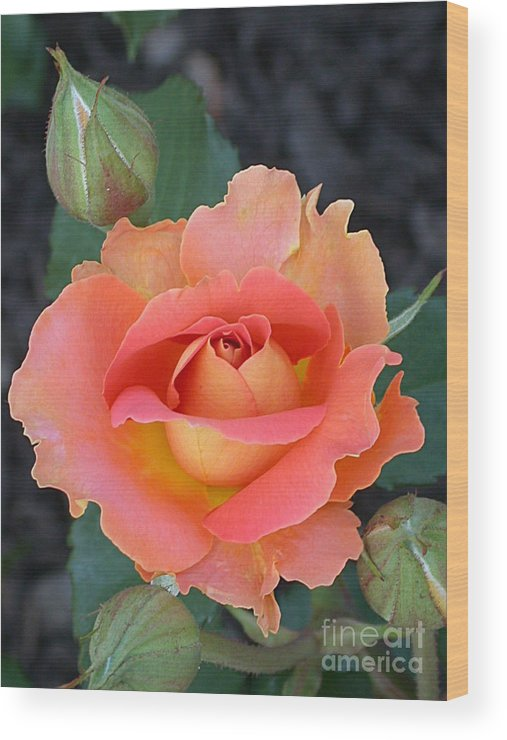 Brass Band Rose Wood Print featuring the photograph Brass Band Rose by Living Color Photography Lorraine Lynch