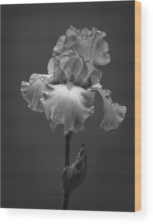 Black And White Wood Print featuring the photograph Iris After The Rain by David and Carol Kelly