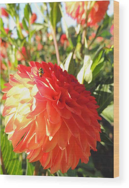 Nature Wood Print featuring the photograph Lady Bug In The Dalias by Lucy Howard