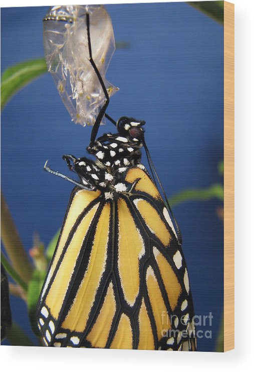 Monarch Butterfly Emerging From Chrysalis Wood Print featuring the photograph Monarch Butterfly Emerging From Chrysalis by Inspired Nature Photography Fine Art Photography