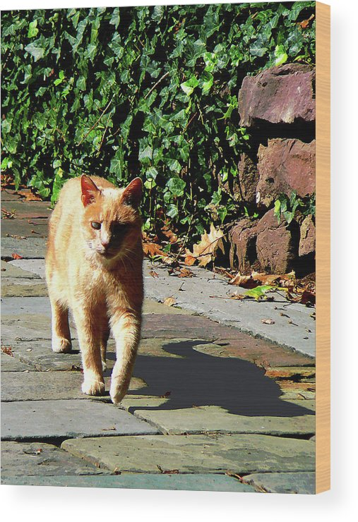 Cat Wood Print featuring the photograph Orange Tabby Taking A Walk by Susan Savad