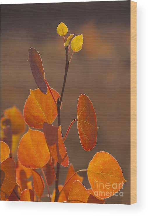 Tree Wood Print featuring the photograph Quaking Aspen In Color  #3749 by J L Woody Wooden