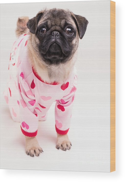 Pug Wood Print featuring the photograph Valentine's Day - Adorable Pug Puppy In Pajamas by Edward Fielding