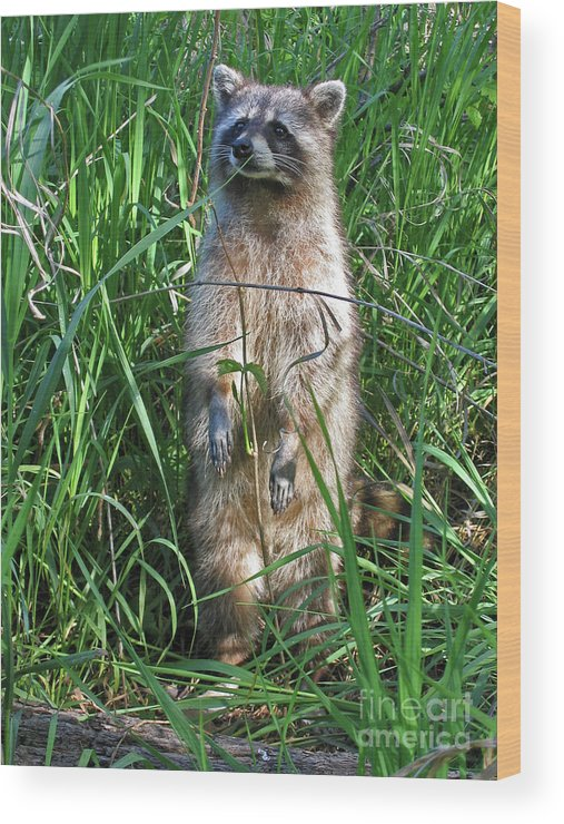 Raccoon Wood Print featuring the photograph Wary by Ann Horn