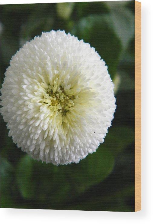 English. Daisy Wood Print featuring the photograph White English Daisy by Nicki Bennett