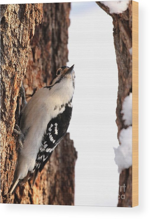 Nature Wood Print featuring the photograph Hairy Woodpecker by Jack R Brock