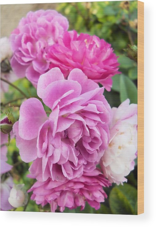 Roses Wood Print featuring the photograph Sweet Pea by Lynnette Johns