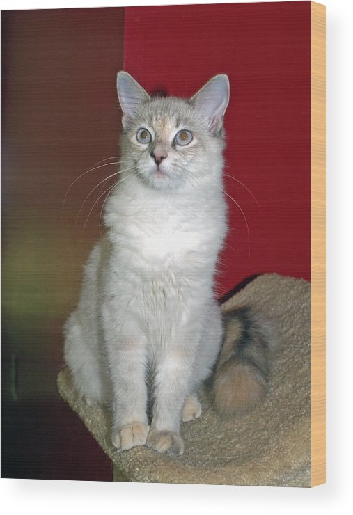 Cat Wood Print featuring the photograph Fluffy by Bob Johnson