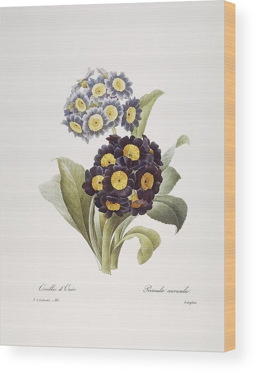 1833 Wood Print featuring the photograph Redoute: Auricula, 1833 by Granger