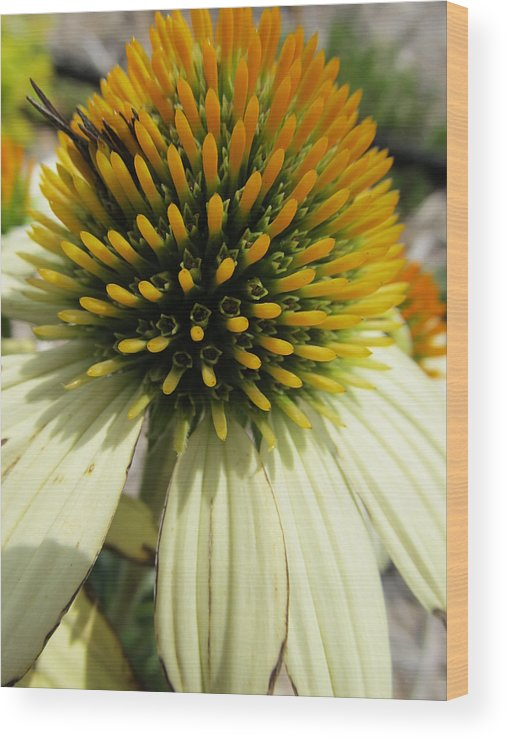 Flowers Wood Print featuring the photograph Coneflower by Michele Caporaso