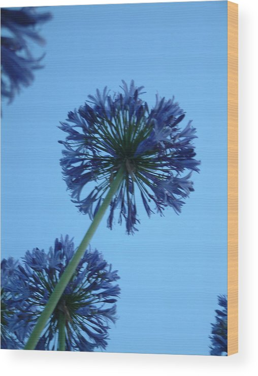 Photograph Blue Agapanthus Blue Sky Summer Cool Floral Vista Wood Print featuring the photograph Aggie Gazing by Sher Green