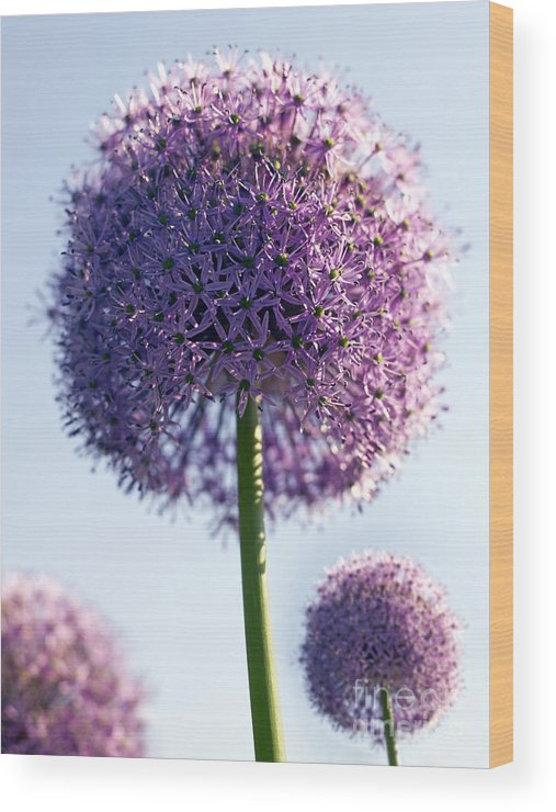 Allium Wood Print featuring the photograph Allium Flower by Tony Cordoza