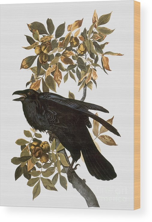 1838 Wood Print featuring the photograph Audubon: Raven by Granger