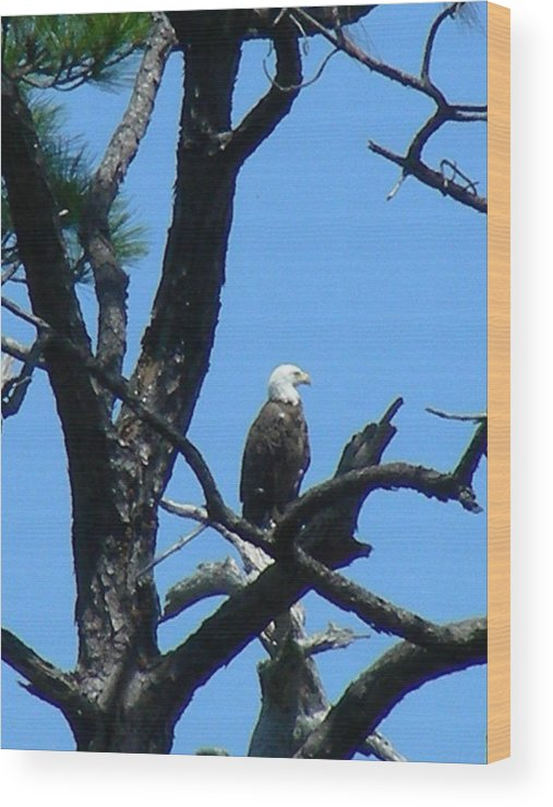 Bald Ealge Wood Print featuring the photograph Bald Eagle II by Peter McIntosh