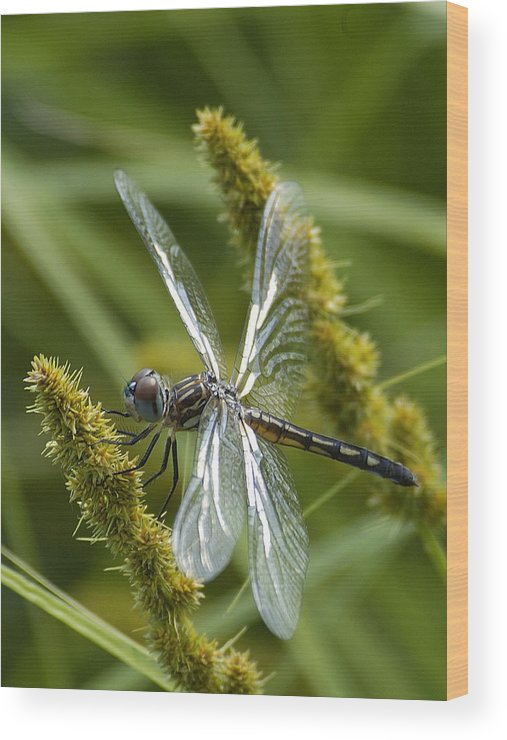 Dragonfly Wood Print featuring the photograph Blue Dasher Dragonfly-female by Neil Doren