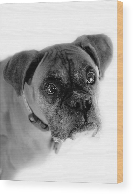 Boxer Wood Print featuring the photograph Boxer Dog by Marilyn Hunt