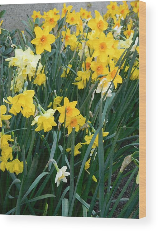 Scene Wood Print featuring the photograph Circle Of Daffodils by Maro Kentros