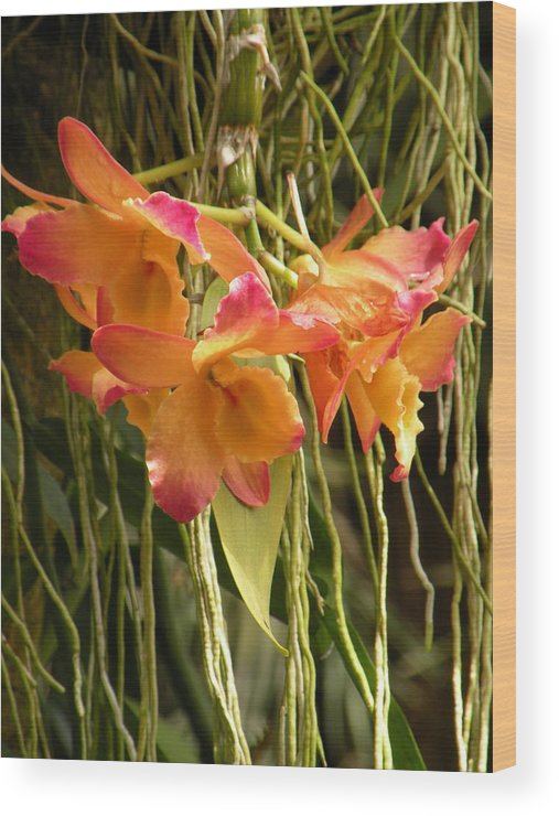 Orchids Wood Print featuring the photograph Dendrobium Orchids by Rosalie Scanlon