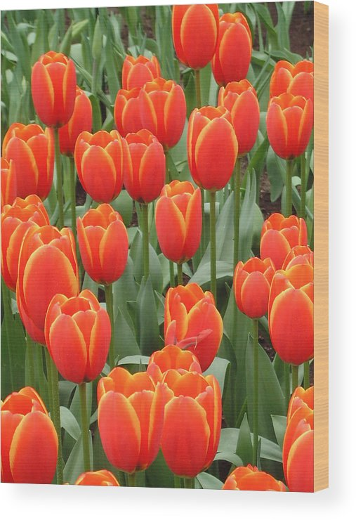 Netherlands Wood Print featuring the photograph Dutch Tulips by Charles Ridgway