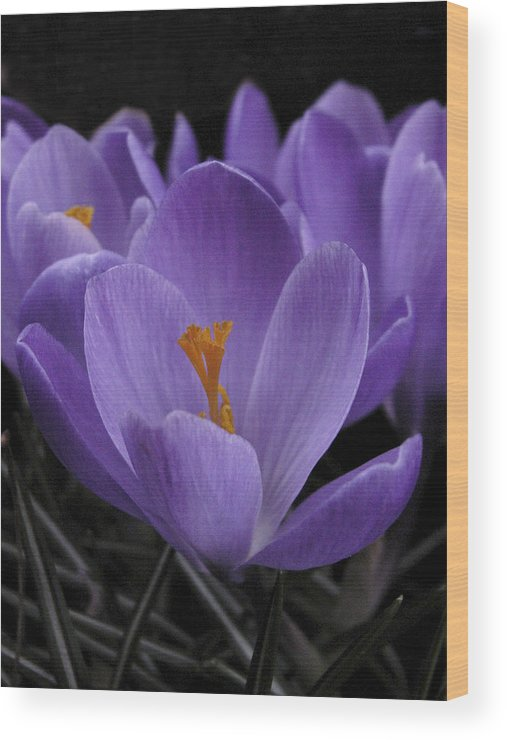 Flowers Wood Print featuring the photograph Flower Crocus by Nancy Griswold