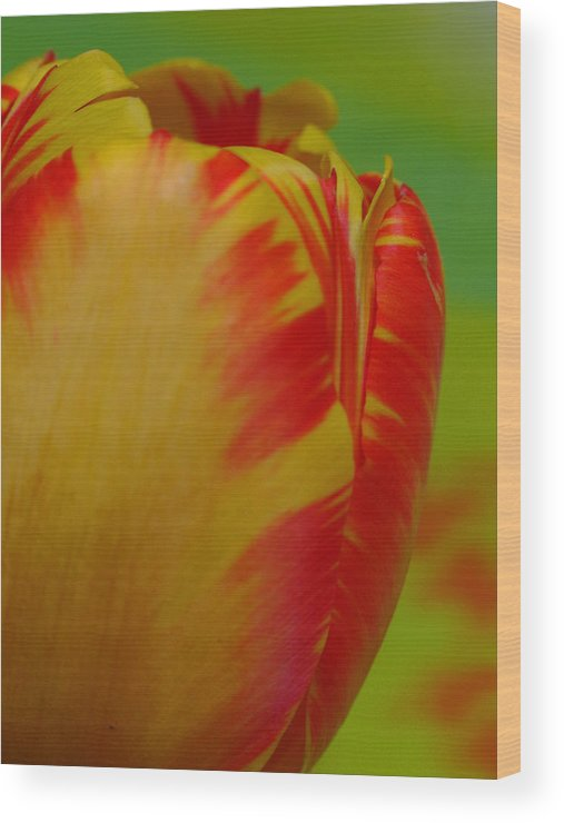 Tulip Wood Print featuring the photograph Globe Tulip by Juergen Roth