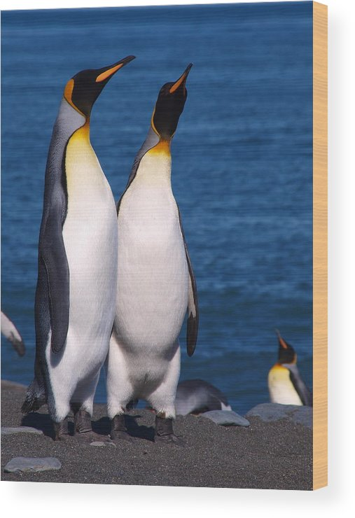 King Penguins Wood Print featuring the photograph Gold Harbour South Georgia 83 by Per Lidvall