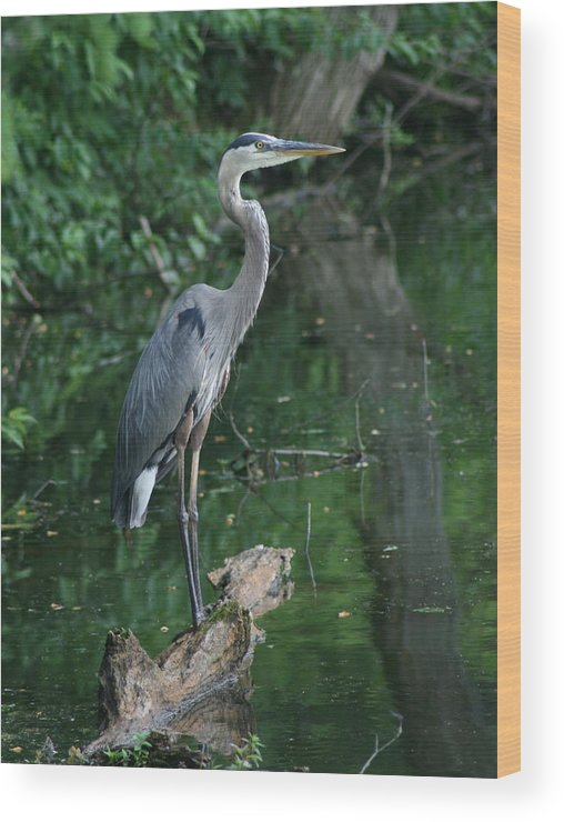 Landscape Water Bird Nature Wildlife Crane Great Blue Heron Wood Print featuring the photograph Great Blue Heron by Dawn Downour