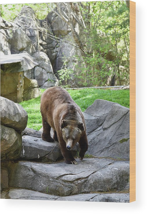 Grizzly Wood Print featuring the photograph Grizzly by Sherri Johnson