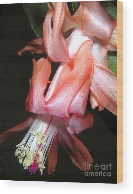 Nature Wood Print featuring the photograph Holiday Cactus - A Full Bloom by Lucyna A M Green