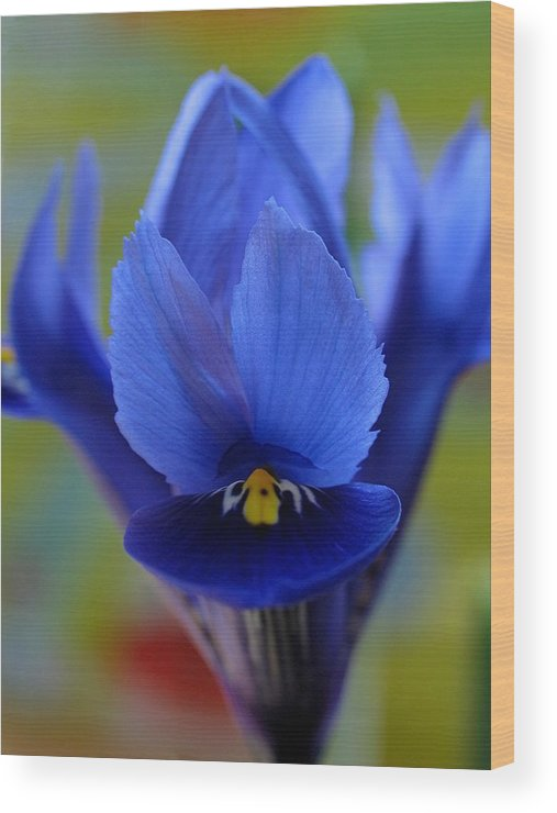 Flower Wood Print featuring the photograph Iris by Juergen Roth