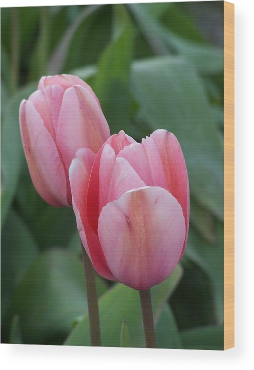 Tulip Wood Print featuring the photograph Lavendar Pink Tulip by Gene Ritchhart