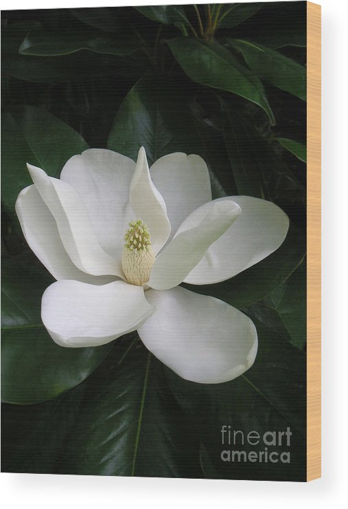 Nature Wood Print featuring the photograph Magnolia Greeting The Day by Lucyna A M Green