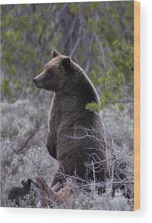 Bear Wood Print featuring the photograph Momma Grizzly And Cubs by Rodney Cammauf