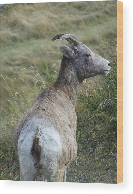 Bighorn Sheep Wood Print featuring the photograph Mother Bighorn by Tiffany Vest