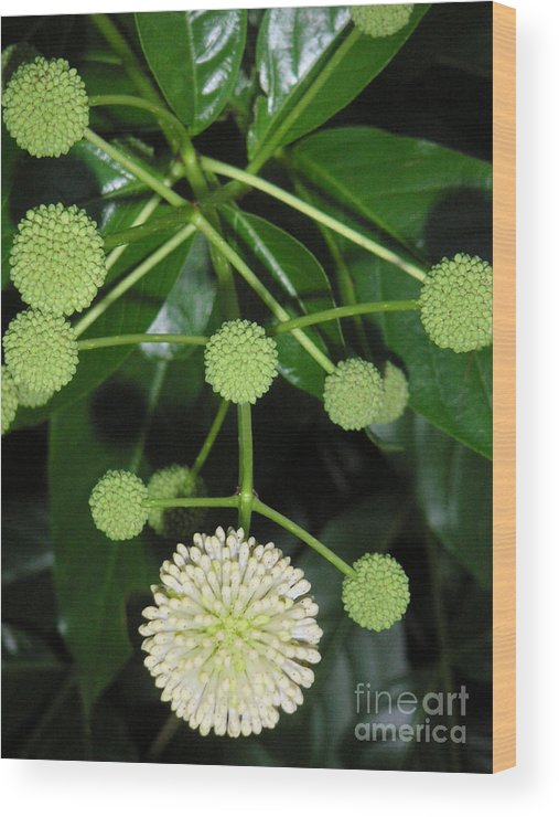 Nature Wood Print featuring the photograph Nature In The Wild - Natural Pom Poms by Lucyna A M Green
