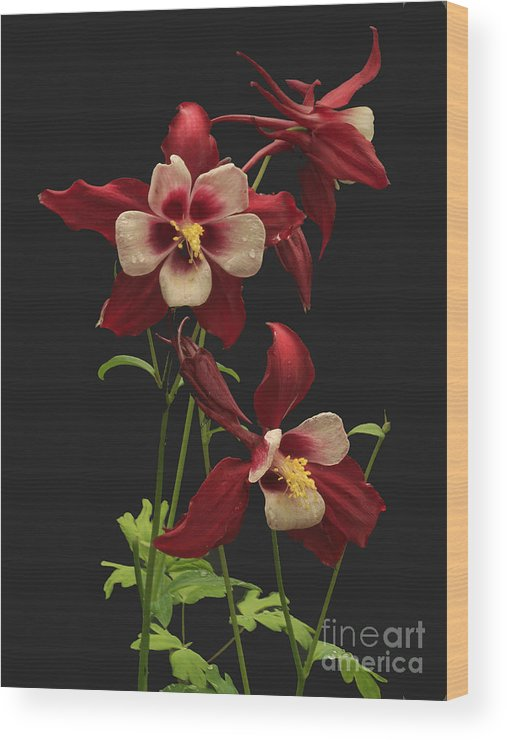Columbine Wood Print featuring the photograph Red And White by Robert Pilkington