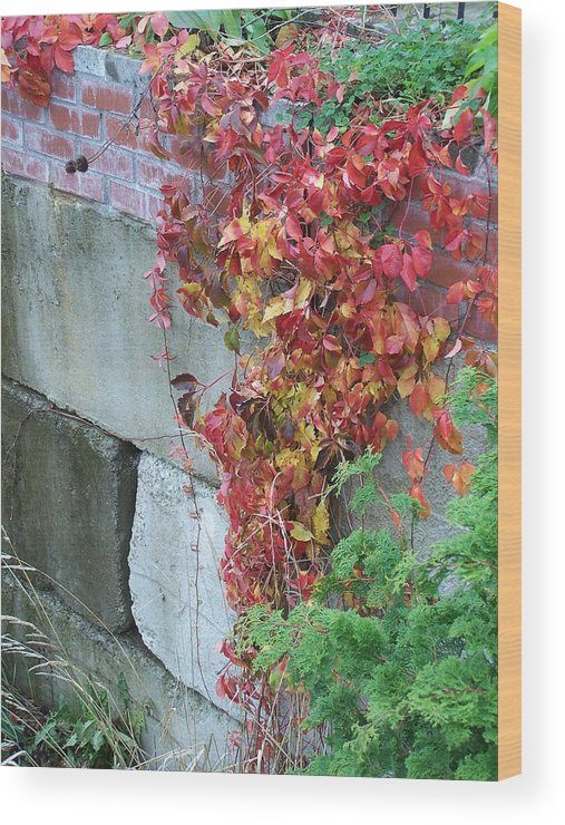 Red Leaves Wood Print featuring the photograph Red Ivy by Gene Ritchhart