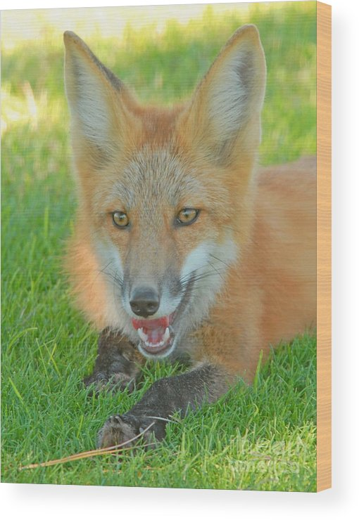Fox Wood Print featuring the photograph Red Tailed Fox by Dennis Hammer