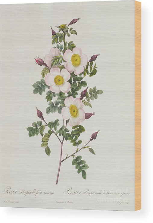 Rosa Wood Print featuring the drawing Rosa Pimpinelli Folia Inermis by Pierre Joseph Redoute