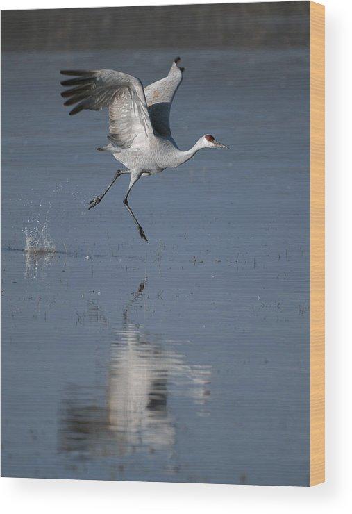 Sandhill Crane Wood Print featuring the photograph Sandhill Crane Running On Water by Gary Langley