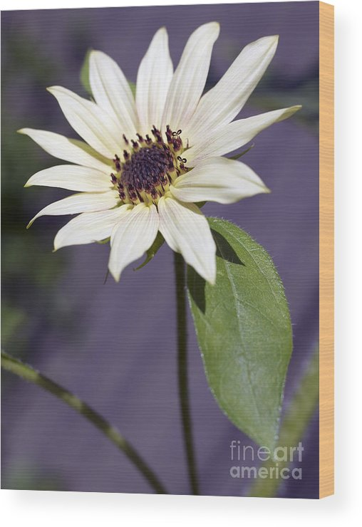 Helianthus Annus Wood Print featuring the photograph Sunflower by Tony Cordoza
