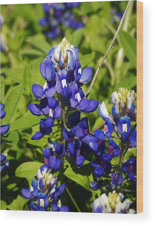 Bluebonnet Wood Print featuring the photograph Texas Bluebonnets 005 by Jenny Harrison