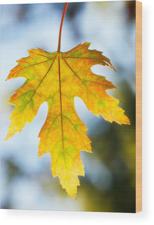 Maple Wood Print featuring the photograph The Maple Leaf by Marilyn Hunt