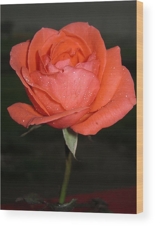 Rose Wood Print featuring the photograph The Rose by Navin Singhwane