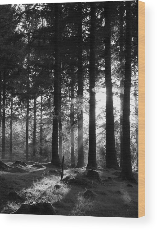 Trees Forest Woods Mono Sapling Evening Light Dusk Rays Light Wood Print featuring the photograph The Sapling by Lloyd Burchell